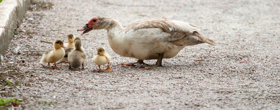 ducks-204334_1280